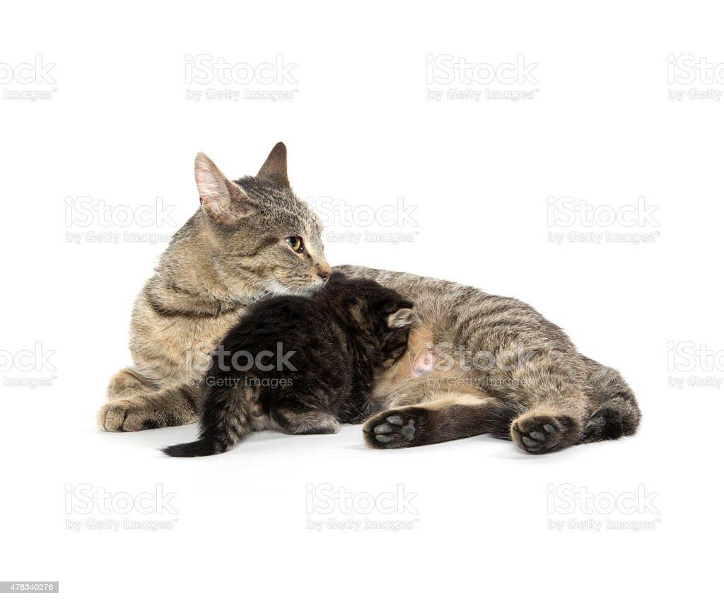 Female tabby cat and kitten stock photo