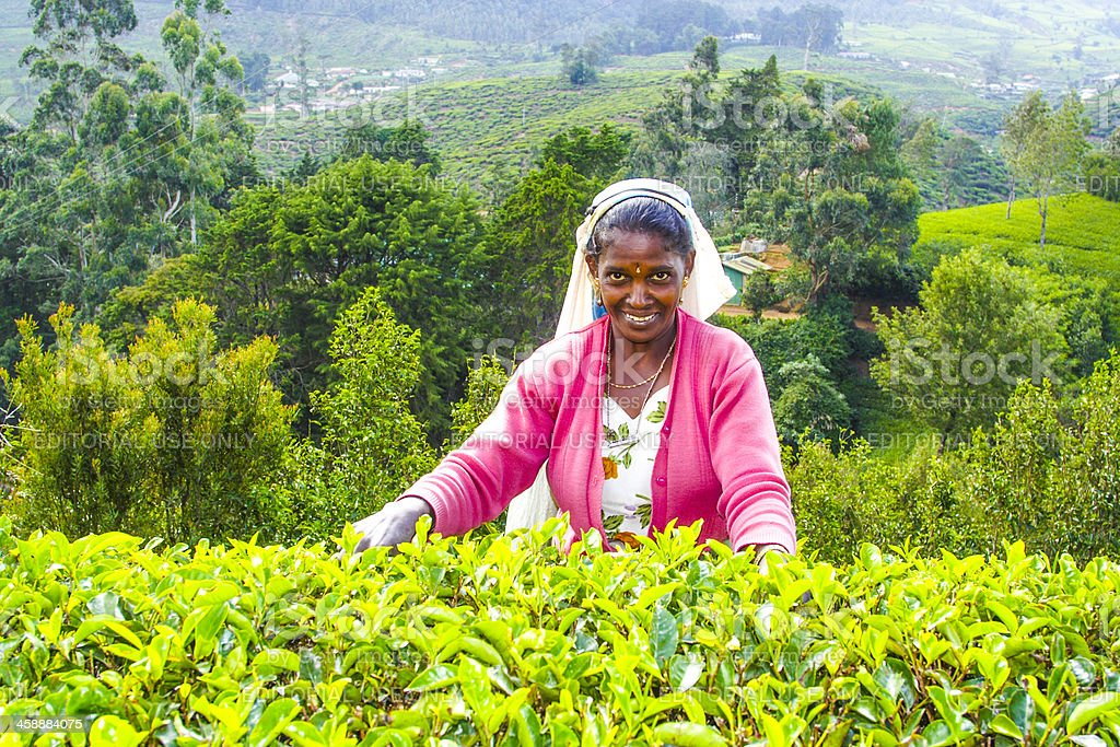 female tea picker in the highlands of Sri lanka royalty-free stock photo