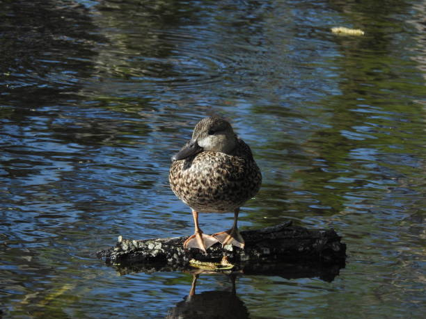 Female teal duck resting stock photo