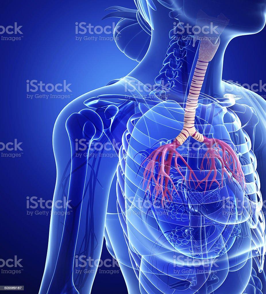 Female Throat Anatomy Stock Photo More Pictures Of Abdomen Istock