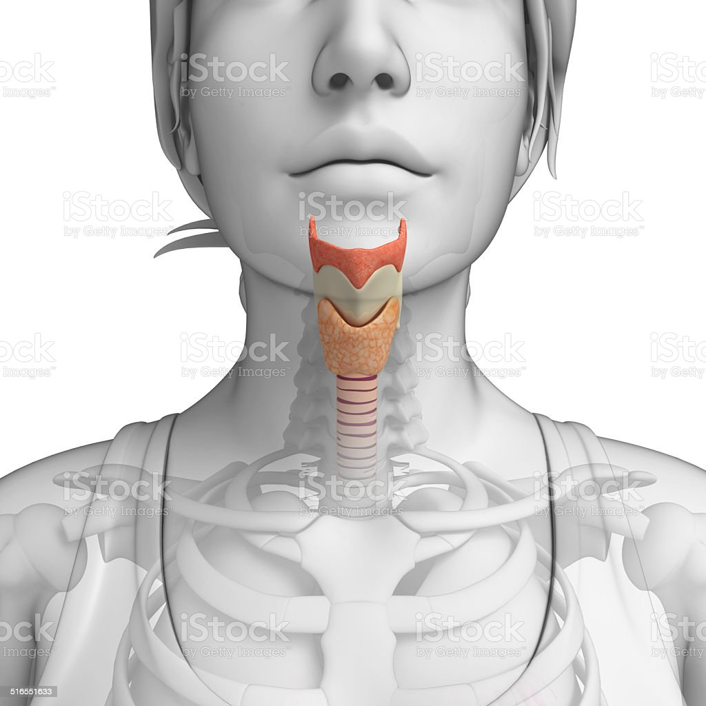 Female Throat Anatomy Stock Photo & More Pictures of Human Internal ...