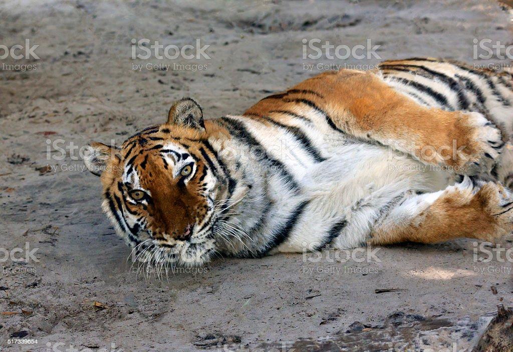 Female Tiger stock photo