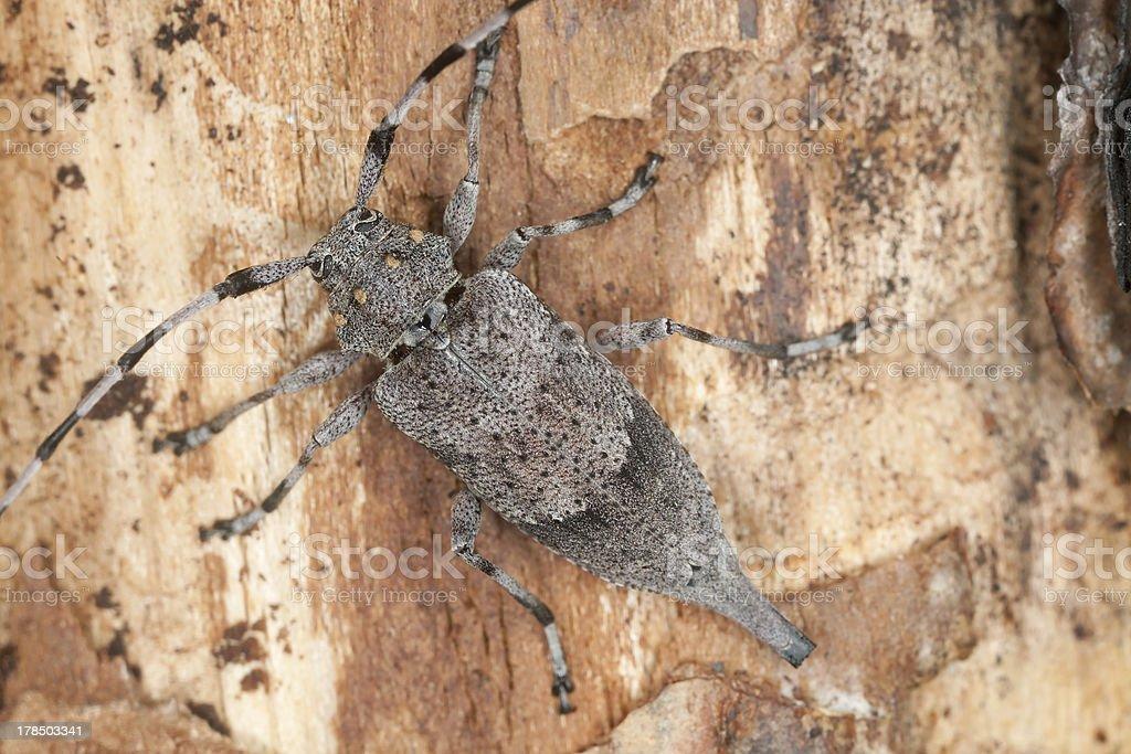 Female timberman (Acanthocinus aedilis) macro photo stock photo