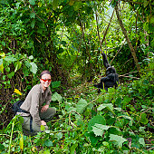 """A female tourist in khaki clothing is sitting next to a juvenile Mountain Gorilla (gorilla beringei beringei). It belongs to the """"Amahoro""""-group. Location: Volcanoes Nationalpark Rwanda, directly at the border to Uganda. PLEASE NOTE - this is a wildlife shot!"""