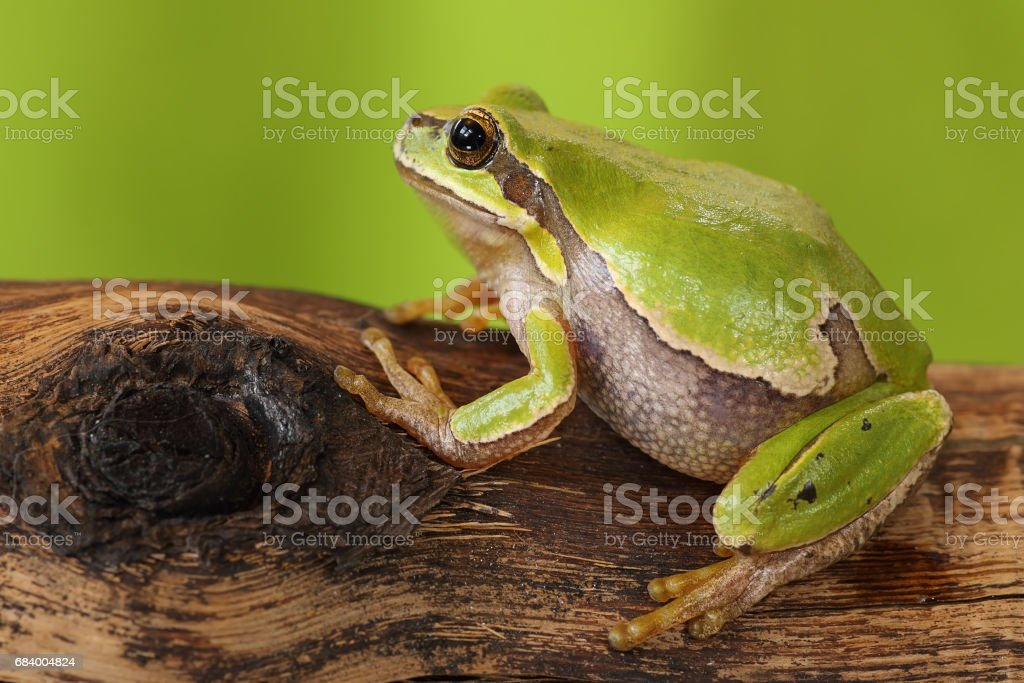 female tree frog on wooden stump stock photo