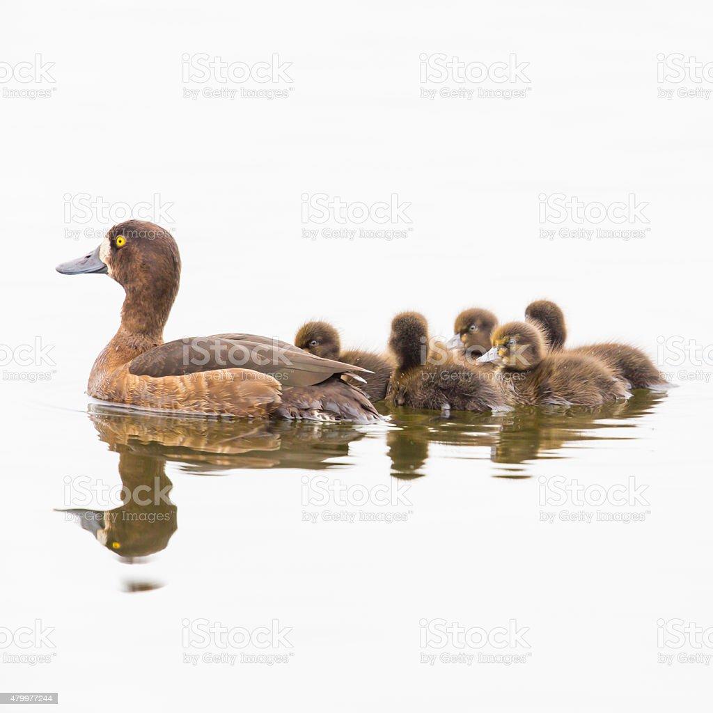 Weibliche gesteppten Ente mit Kind auf natürlichem weißem Hintergrund – Foto