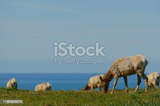 Female Tule Elk Graze with Pacific Ocean in background
