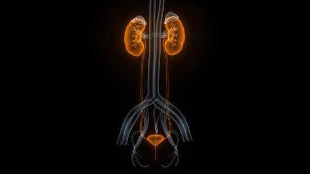 Female Urinary System Kidneys with Bladder Anatomy stock photo