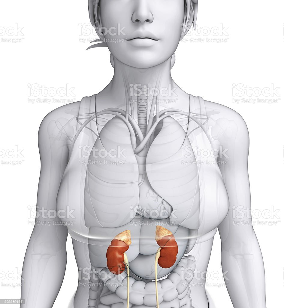 Female Urinary System Stock Photo More Pictures Of Abdomen Istock