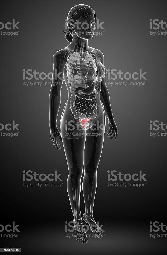 Anatomie Weibliche Menschliche Gebärmutter Stockfoto 508173045 | iStock