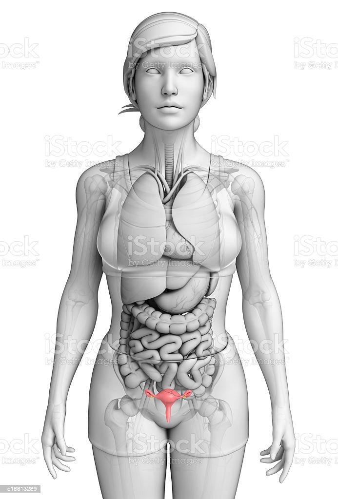 Anatomie Weibliche Menschliche Gebärmutter Stock-Fotografie und mehr ...