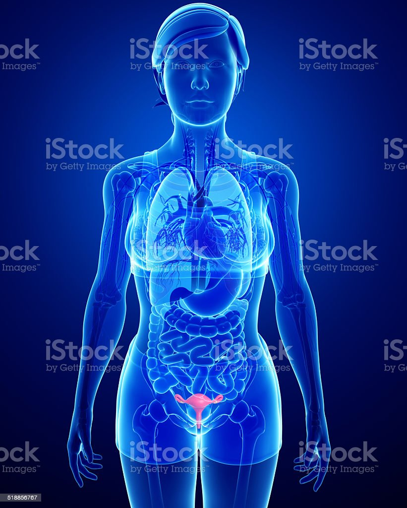 Female Uterus Anatomy Stock Photo More Pictures Of Abdomen Istock