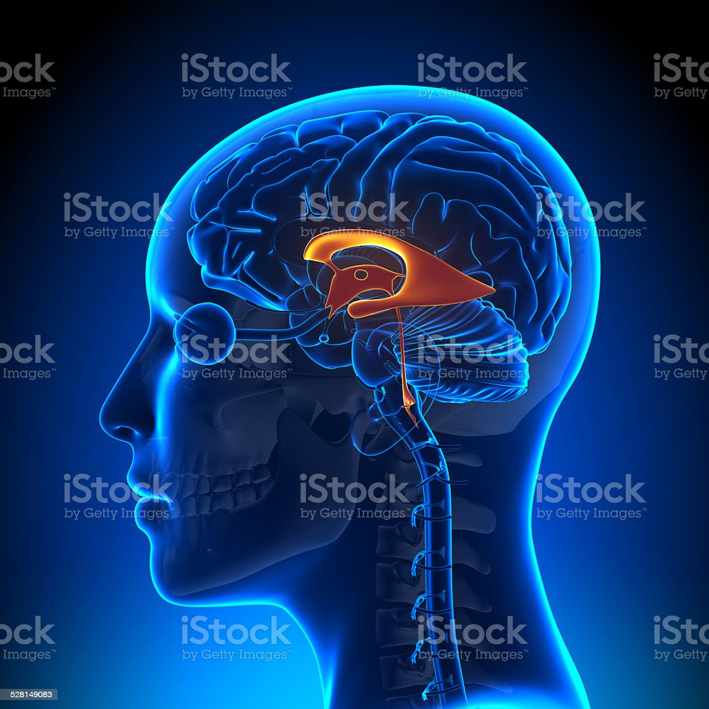 Female Ventricles - Anatomy Brain stock photo