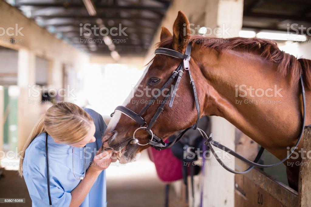 Mujer vet comprobar los dientes de caballo - foto de stock