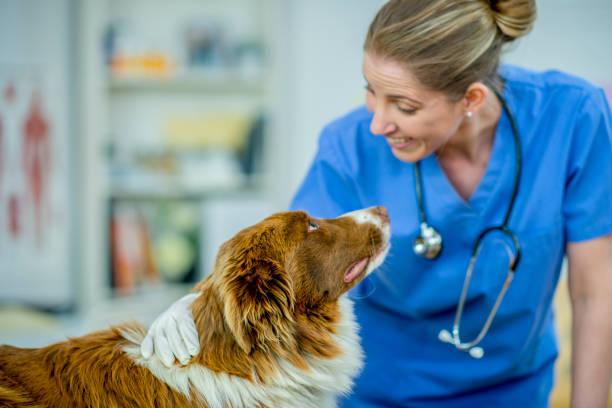 veterinario hembra con un perro - veterinario fotografías e imágenes de stock