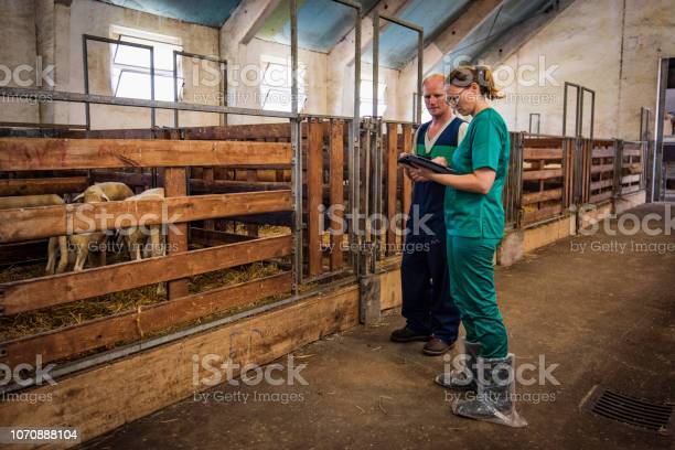 Female veterinarian and male farmer examining sheep in a barn picture id1070888104?b=1&k=6&m=1070888104&s=612x612&h=tv3jdzrxjq5bhkt1y478mca3mngeicc8hjburdcrmum=