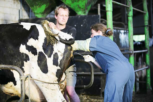 weibliche tierarzt am arbeitsplatz - latzhose für schwangere stock-fotos und bilder