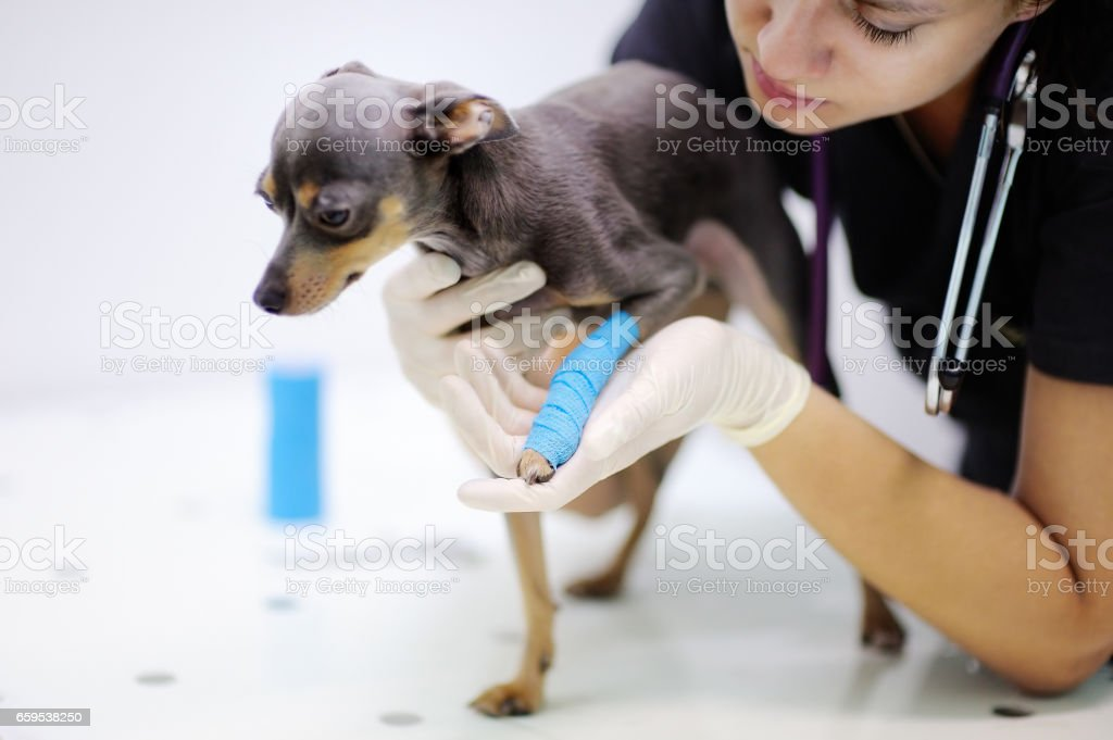 Female veterinarian doctor during work in veterinary clinic stock photo