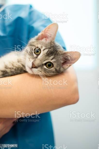 Female veterinarian doctor is holding a cat on her hands picture id1207249570?b=1&k=6&m=1207249570&s=612x612&h=aeag1jgvjhvs7i1sdxqcvjqg1w7iztctt9nadgsdxgi=