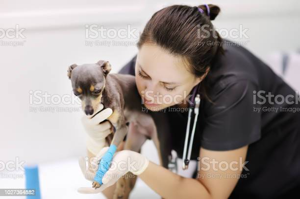 Female veterinarian doctor with dog terrier looking at xray during picture id1027364882?b=1&k=6&m=1027364882&s=612x612&h=thb2k93ki8 g7u8pyw62508sx8vkyvioq5zzbeafjdo=