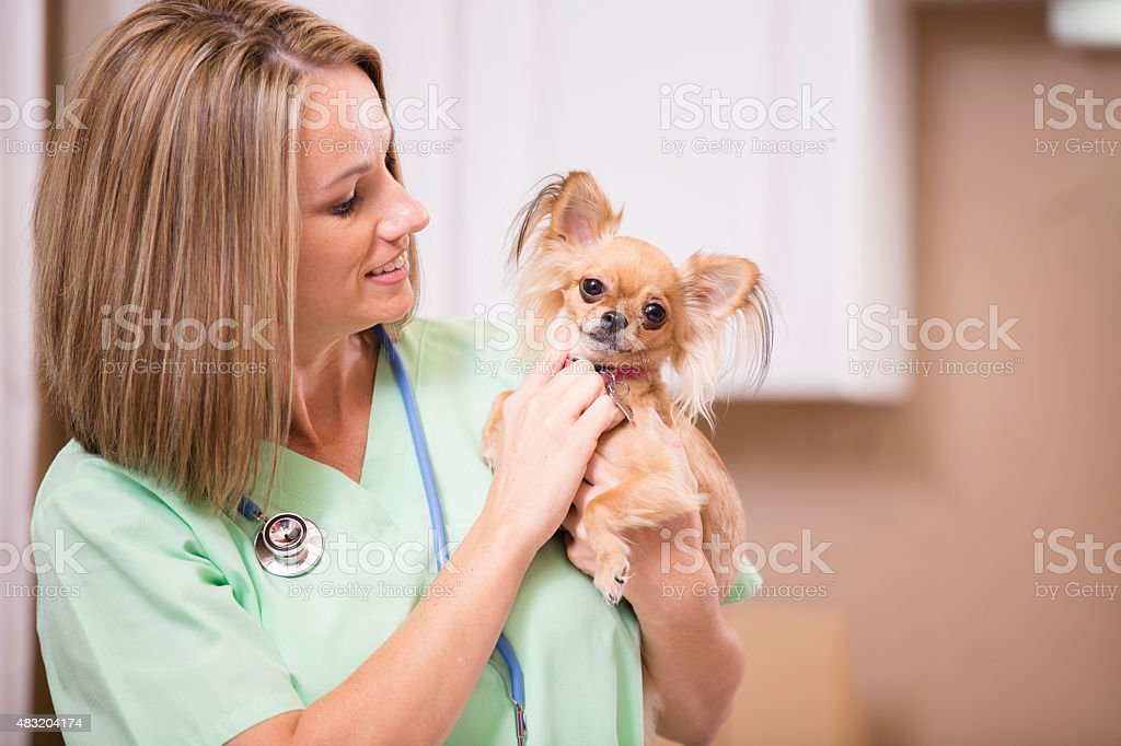 Female veterinarian holds, examines Chihuahua dog in clinic office. stock photo
