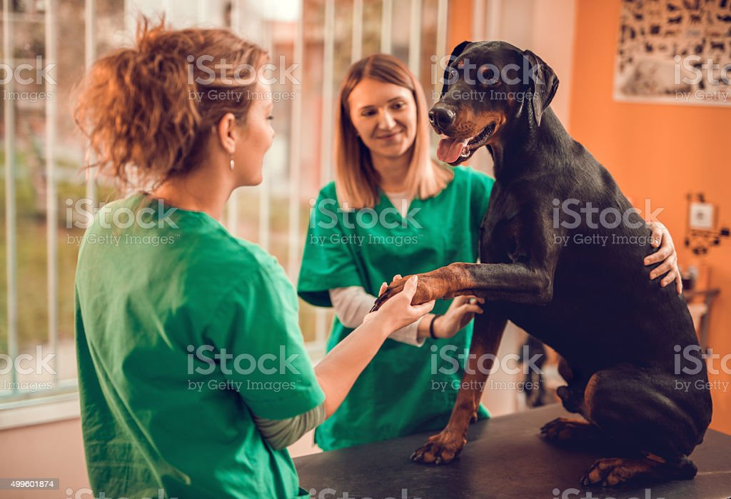 Female veterinarians with a purebred dog at vet's office. stock photo