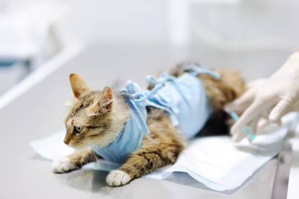 Médico veterinario mujer pone la venda en el gato después de la cirugía - foto de stock