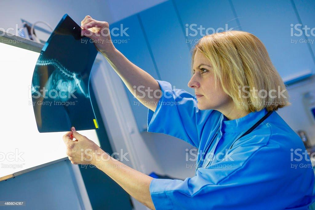 Female Veterinary Surgeon Examining X Ray royalty-free stock photo