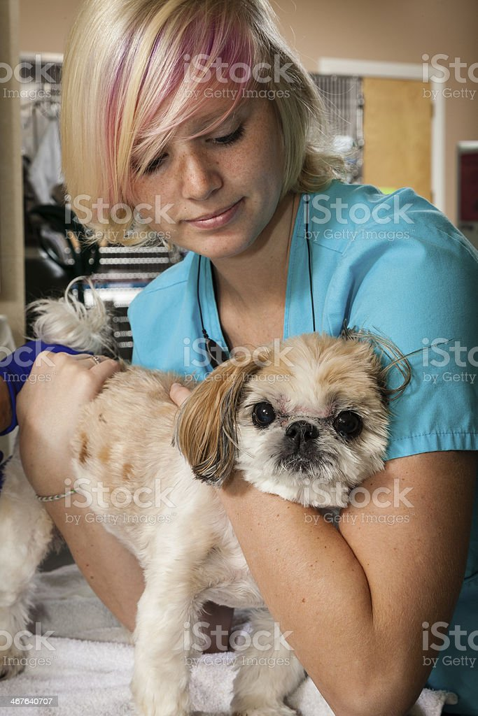 Female Veterinary Technician Comforts Shih Tsu stock photo