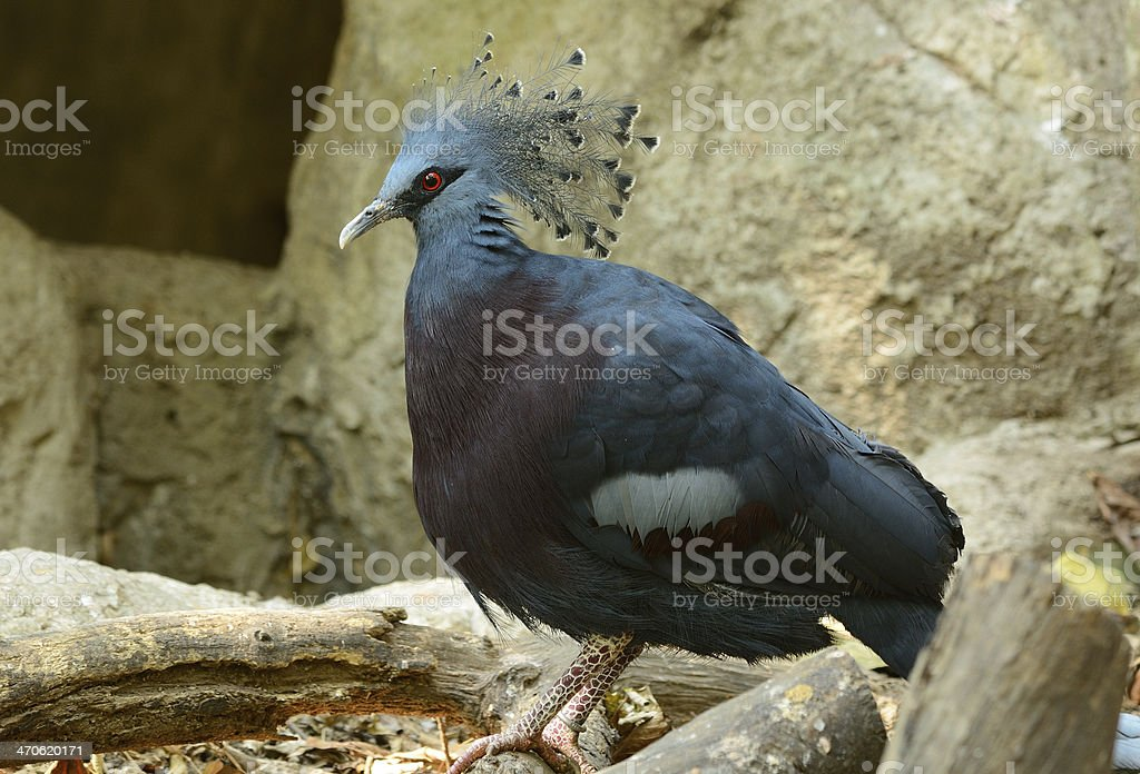 female Victoria Crowned Pigion (Goura victoria) royalty-free stock photo