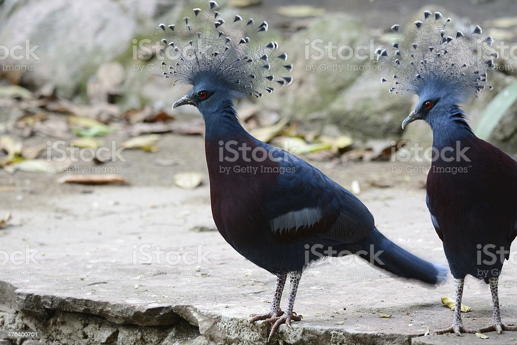 beautiful female Victoria Crowned Pigeon standing on ground