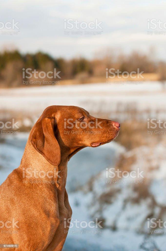Female Vizsla Portrait in Winter royalty-free stock photo