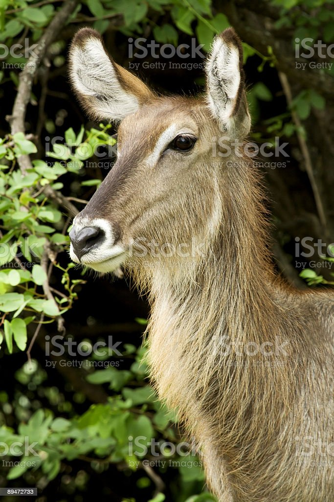 Female waterbuck royalty-free stock photo