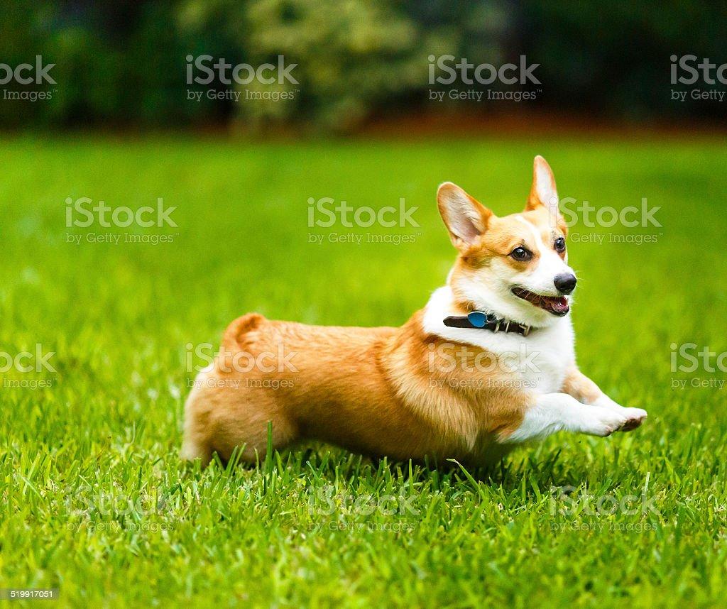 Female Welsh corgi dog stock photo