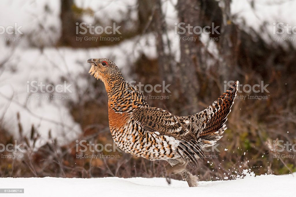 Female Western Capercaillie, Wood Grouse or Heather Cock (Tetrao Urogallus) stock photo