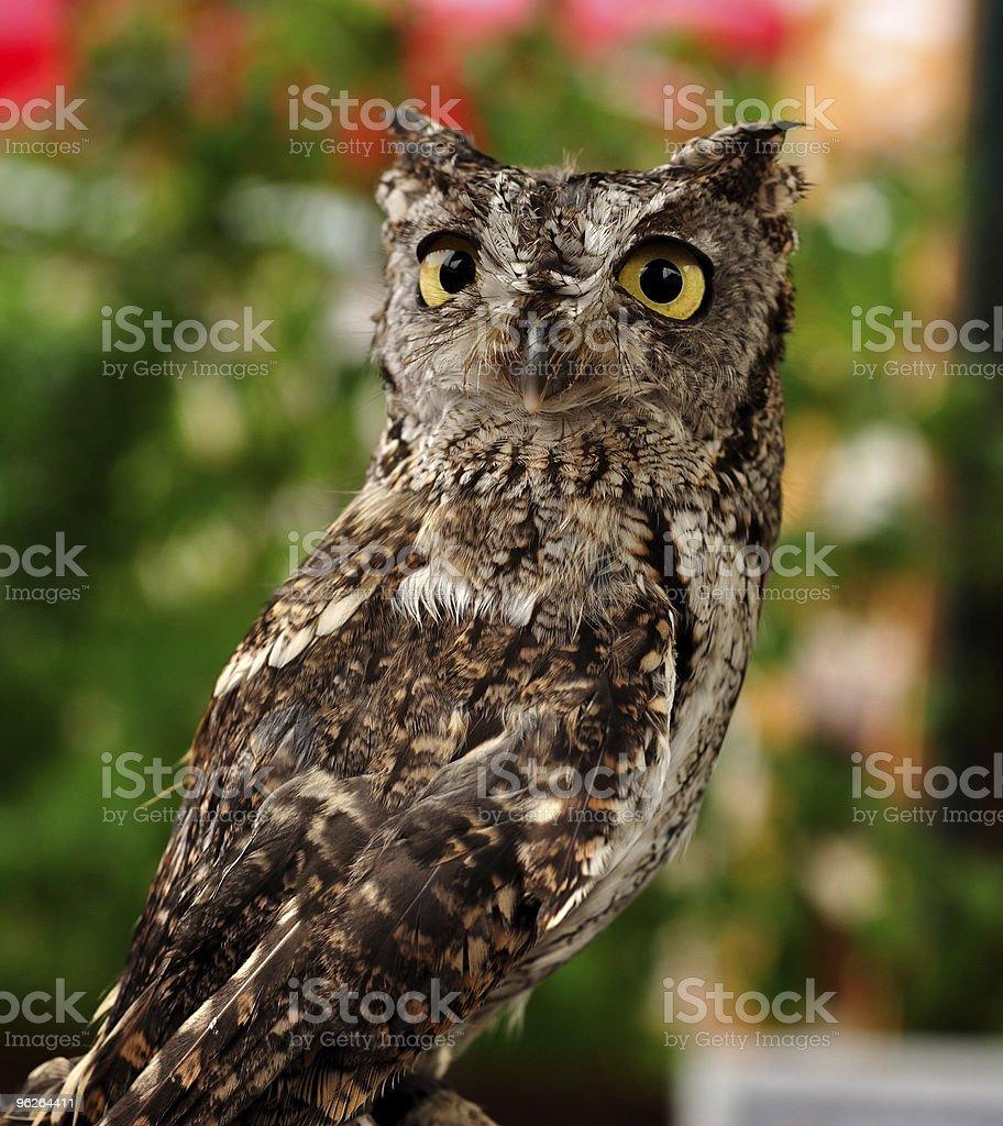 Female Western Screech Owl royalty-free stock photo