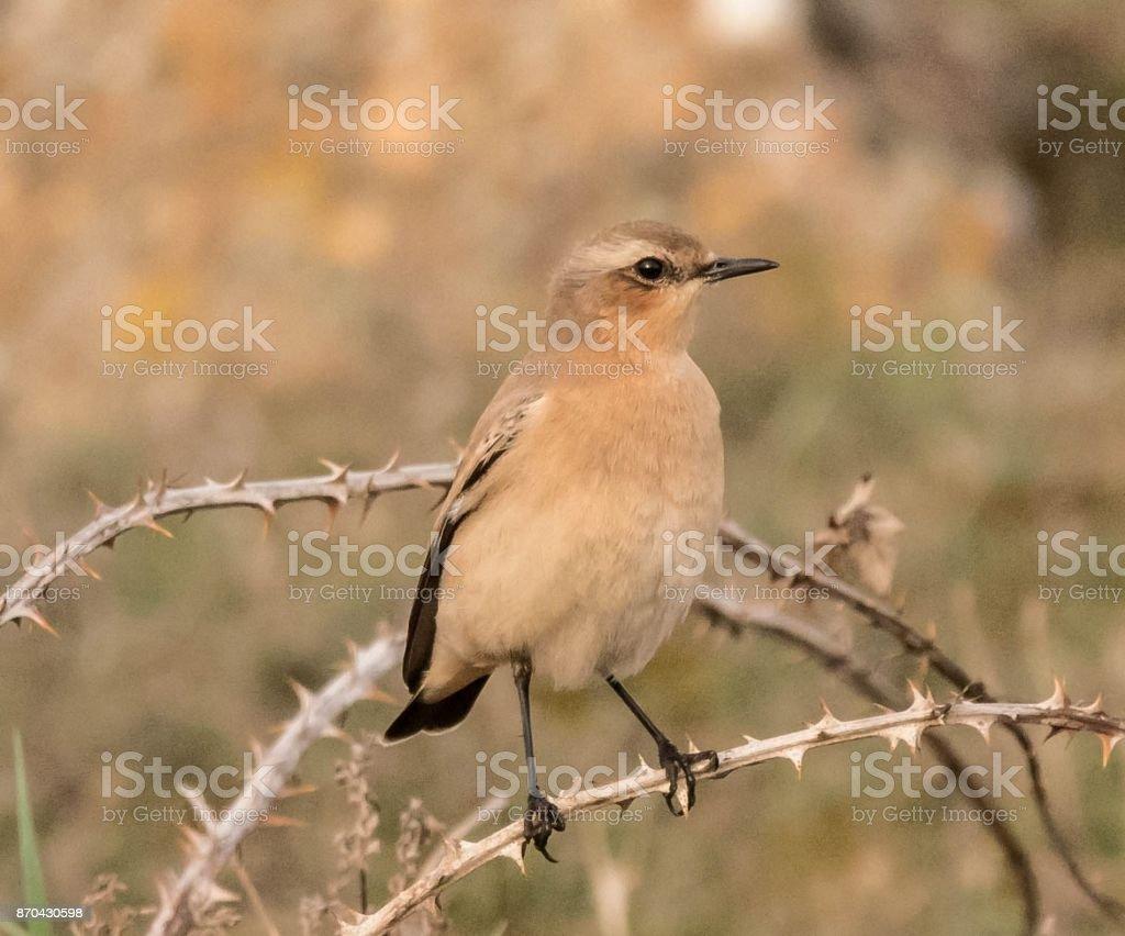female wheatear bird wildlife stock photo