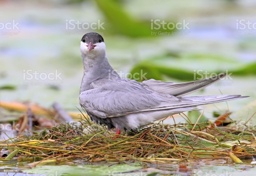 Female whiskered tern on the nest with eggs stock photo