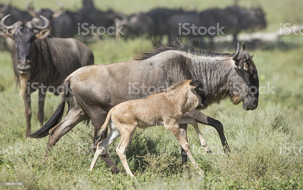 Female White Bearded Wildebeest running with its new born calf, stock photo