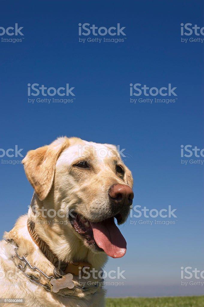 female White Labrador dog against blue sky stock photo