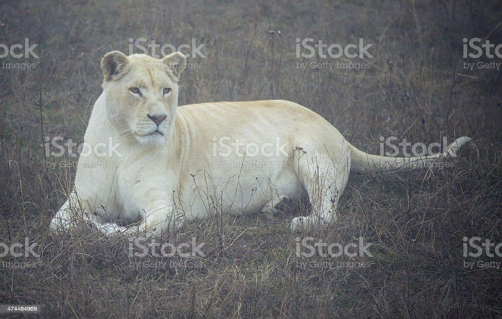 Female white Lion royalty-free stock photo