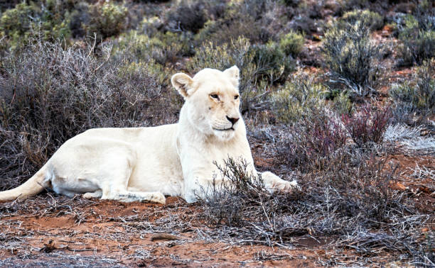 female  white lion with blue eyes resting  in the wildlife reserve,south africa - wildlife conservation stock photos and pictures