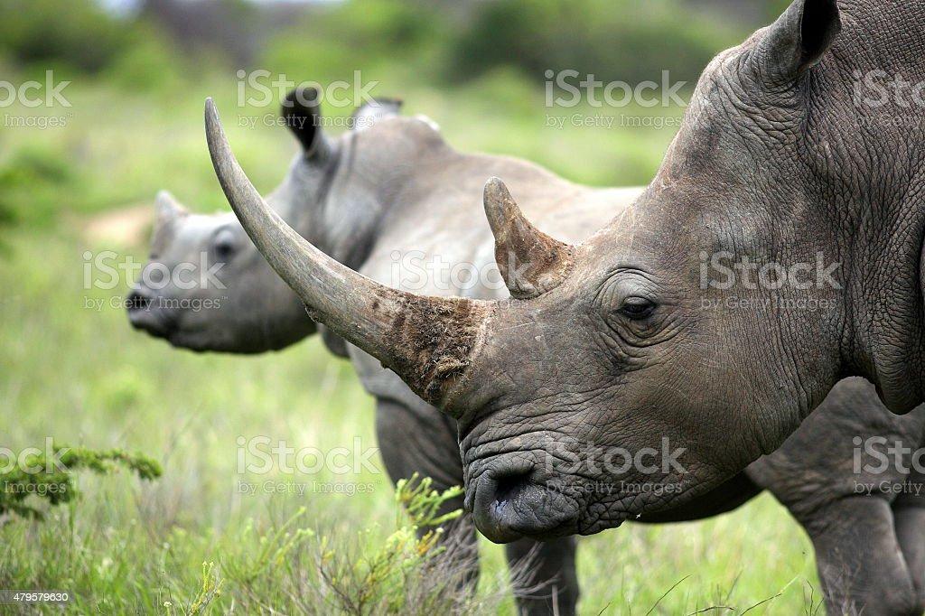 Female white rhino / rhinoceros and her calf / baby stock photo