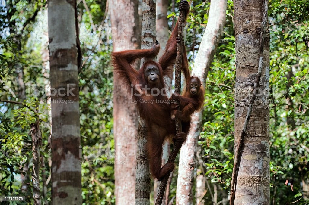 Female with the kid of the orangutan on a tree. stock photo