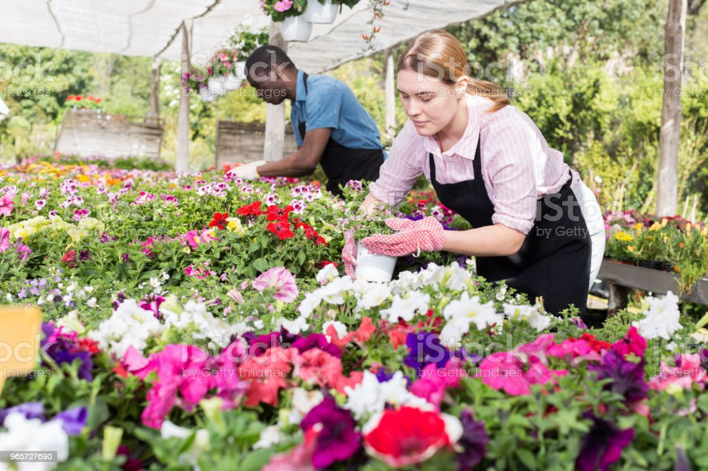 Female worker checking flowers in glasshouse - Royalty-free Activity Stock Photo