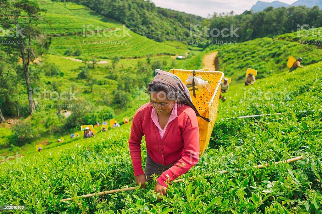 Female Worker in Tea Plantations of Sri Lanka stock photo