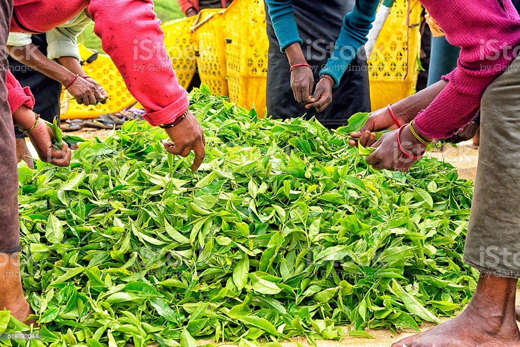 Weibliche Arbeitnehmer in Nuwara Eliya Sri Lanka – Foto