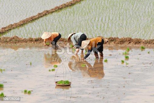 istock Female workers planting rice in Vietnam 109725203