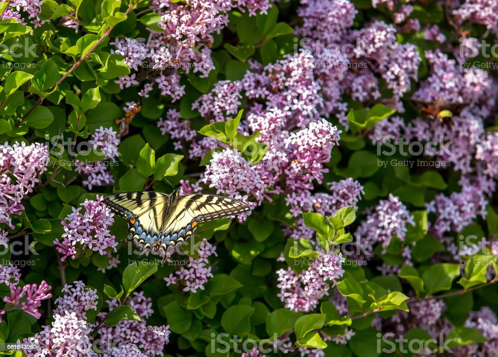 Female Yellow Eastern Tiger Swallowtail Butterfly On Lilac