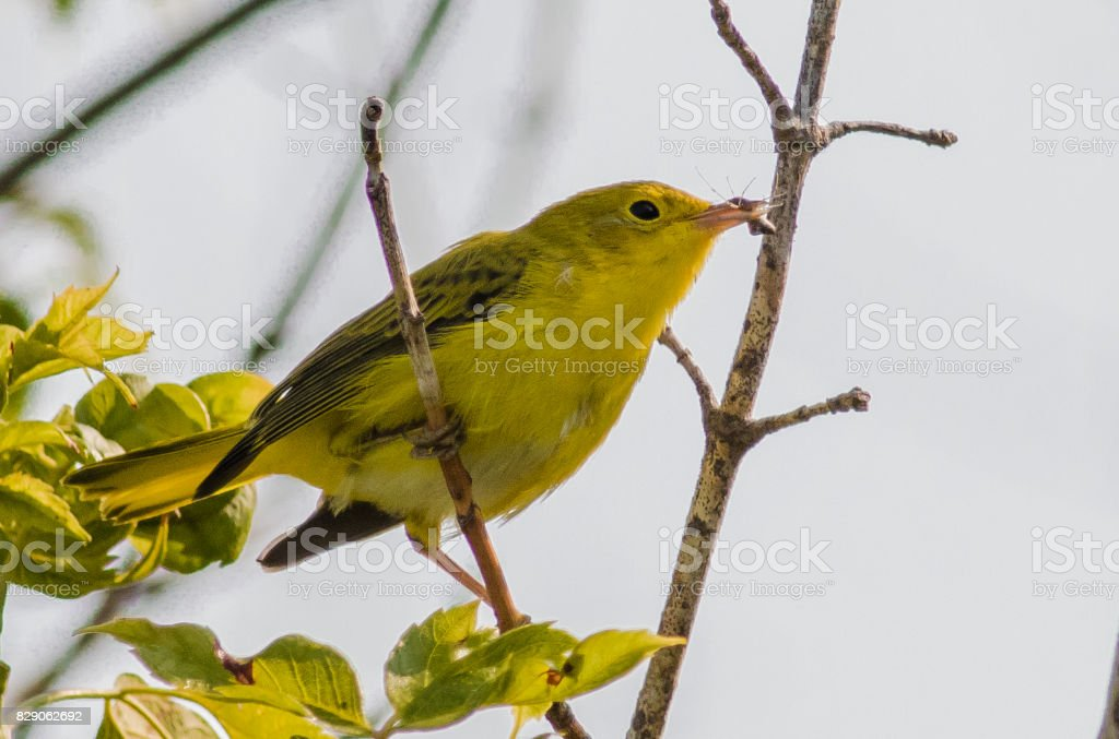 Female Yellow Warbler with an insect stock photo